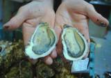 Sète-Grand-Tour-mas-huîtres